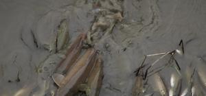 Yeşilırmak'ta balık ölümleri
