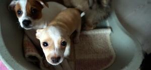 İhaleyle satışa çıkarılan kaçak köpek yavruları satılamadı