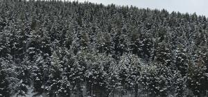 Beyaza bürünen sarıçam ağaçları eşsiz görüntü oluşturdu