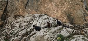 Adıyaman'da keçi kurtarma operasyonu