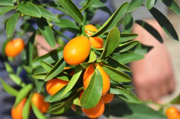 """Şeker hastaların tercihi kamkat meyvesi Altın portakal vatandaşın ilgisini topladı Fidan Satıcısı Ertan Koç; """"Kabuklu yenen bir meyve ve içinde bir çok aroma var"""""""