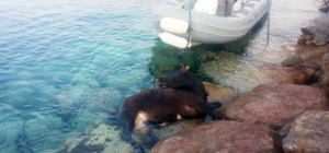 Denizde dana kurtarma operasyonu Deniz kıyısındaki kayalıklara ayağı sıkışan danayı itfaiye kurtardı