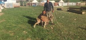 Köpeklerin saldırısına uğrayan dağ keçisini köylüler kurtardı Tunceli'nin Pertek ilçesinde köpeklerin saldırısına uğrayan dağ keçisi, köylülerin müdahalesi ile kurtarılarak tedavisi yapılmak üzere ekiplere teslim edildi
