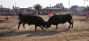 Boğalar Milas'ta Bafa Zeytinspor yararına güreşecek