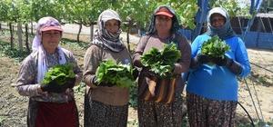 (Özel haber) Asma yaprağı kadınların geçim kapısı oldu Üzüm bağlarından toplanan taze asma yaprakları pazara çıktı Manisa'nın dünyaca ünlü Sultani üzümlerinin yetiştiği Alaşehir'de üzüm bağlarında asma yaprakları toplanmaya başladı