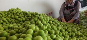 Mersin'de erik ihracatı başladı
