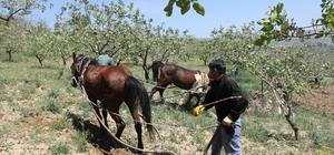 Siirtli çiftçiler eski geleneğe döndü Siirt'te meydana gelen pat-pat denilen tarım araçlarının kaza sayısında artış olduğundan dolayı çiftçiler bağ ve bahçelerini atlarla sürmeye başladı