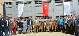 Hisarcık'ta genç çiftçilere düve dağıtımı