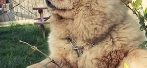 Herkül'ü önce sevip sonra çaldılar Köpek hırsızı kameraya yakalandı