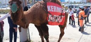 Açık artırmaya çıkarılan deve 60 bin liraya satıldı