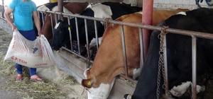 (Özel Haber) Bir ayda üç kez artan yem fiyatları hayvancıları kesime mecbur bıraktı Nüfusunun yüzde 80'inin tarım ve hayvancılıktan geçimini sağladığı Aksaray'da son zamanlarda yem fiyatlarına gelen afaki artış ve süte gelen zammın uygulanmaması üreticileri kesime yönlendirdi