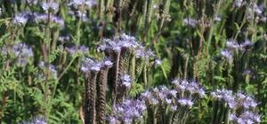 Arı otu bitkisiyle ölümlerin önüne geçilecek