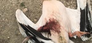 """Avcılar tarafından vurulan ak pelikan kurtarılamadı Bilecik Belediyesi Veteriner İşleri Müdürü Nedret Avcı; """"Bilecik'te nadir görülen bir kuş"""""""