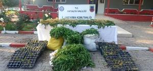 Antalya'da 7 bin 532 kök Hint keneviri ele geçirildi