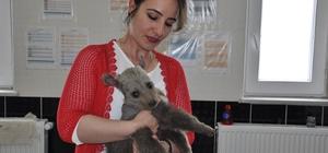 Yavru ayı Kars'ta tedavi altına alındı Artvin'de bulunan yavru ayının annesi tarafından dışlandığı ortaya çıktı