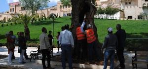 Asırlık ağaçlara özel bakım
