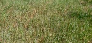 Trakya'daki buğdayda hastalık şüphesi