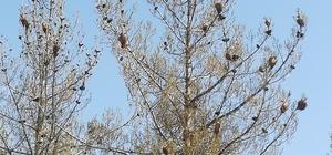 Uşak'ta ormanlar çam kese böceği istilasına uğradı