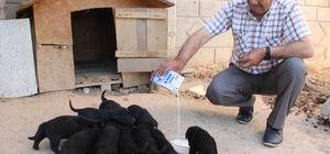 Anneleri kaybolan 10 yavru köpeği marketten aldığı sütle beslemeye çalışıyor Karaman'da bahçedeki yuvasından aniden ortadan kaybolan golden cinsi anne köpeğin 10 yavrusu ortada kaldı