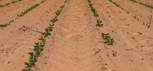 Tescilli Meriç yer fıstığında ekim tamamlandı