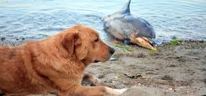 Ölü yunus sahile vurdu Köpek ölü yunusun başından ayrılmadı