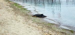 Tekirdağ'da ölü yunus kıyıya vurdu