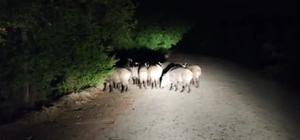 Aracıyla ilerlerken biranda onlarca domuz karşısına çıktı Aracının önüne çıkan domuz sürüsünü maşallah diyerek uğurladı