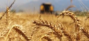 Türkiye'nin ilk buğday hasatı Antalya'da başladı Havaların sıcak gitmesi buğday hasadını 25 gün öne çekti Yüzlerce dönüm alanda yapılan hasat havadan görüntülendi