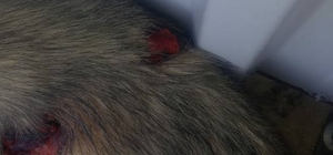 Muğla'da köpeğin av tüfeğiyle vurulduğu iddiası
