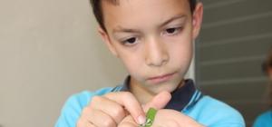 İlkokul öğrencileri okulda, ipek böcekçiliği yapıyor