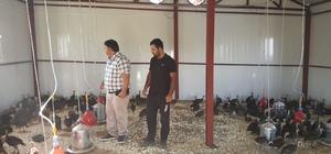 Kulp'ta hindi çiftliği kuruldu