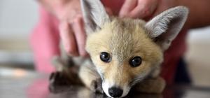 Yavru tilki ve baykuş koruma altında Sağlık durumları düzelen yaban hayvanları Eskişehir Orman Müdürlüğü'ne teslim edildi