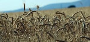 """Hasadı başlayan buğday çiftçiyi mutlu etmedi Kurak geçen mevsim buğdayda beklentiyi karşılamadı Ziraat Odasından çiftçilere """"Ürününüzü erken hasat etmeyin"""" uyarısı Manisa Ziraat Odası Başkanı Hüseyin Altındağ: """"Çiftçilerimiz buğday tam olgunlaşmadan hasat için acele etmesin"""""""