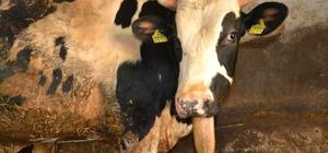 (Özel) Çenesiz dana görenleri şaşırtıyor Doğum sırasında veteriner tarafından çenesine ip bağlanarak çekilmesi sonucu çenesi kırılan ve beslenme sıkıntısı nedeniyle 'yaşamaz' denilen dana, sahibinin özverisiyle 15 ayda 600 kiloya çıktı Kesmeye kıyamadığı çenesiz danasını şimdi de satmaya kıyamıyor
