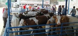 Milas'ta 8 genç çiftçiye 48 büyükbaş hayvan verildi