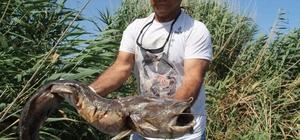 Söke'deki ölü balıklar Ege Denizi'ne ulaştı Söke'de 6 kilometrelik alanda suyun yüzeyi ölü balıklarla kaplandı