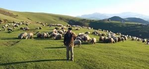 Ramazan'ı yaylada koyunları ile geçiriyorlar