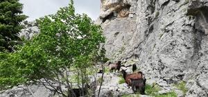 Dağda mahsur kalan keçileri kurtarmak için canlarını tehlikeye attılar Kahramanmaraş'ta dağda 4 gündür mahsur kalan keçiler için gönüllü olan kurtarma ekibi, sarp kayalıklardaki kurtarma operasyonu yaptı