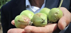 Bursa'da dolu binlerce dönüm meyve bahçesine zarar verdi Doludan ürünleri zarar gören köylü yardım bekliyor