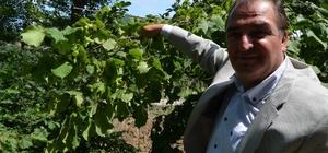 """Arslantürk dünya fındık rekoltesi tahminini değerlendirdi Ulusal Fındık Konseyi Başkanı ve Trabzon Ticaret Meclis Başkanı Sebahattin Arslantürk: """"Geçen yıl 750 bin ton olan üretimimiz bu yıl 640 bin ton olarak belirlendi"""" """"Maalesef her geçen yıl dünyadaki fındık üretim oranımız sürekli düşüyor"""""""