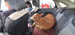 Hastalanan buzağı veterinere otomobille taşındı