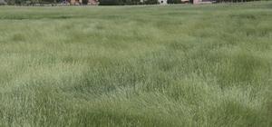 Buğday başaklarının rüzgarla dansı