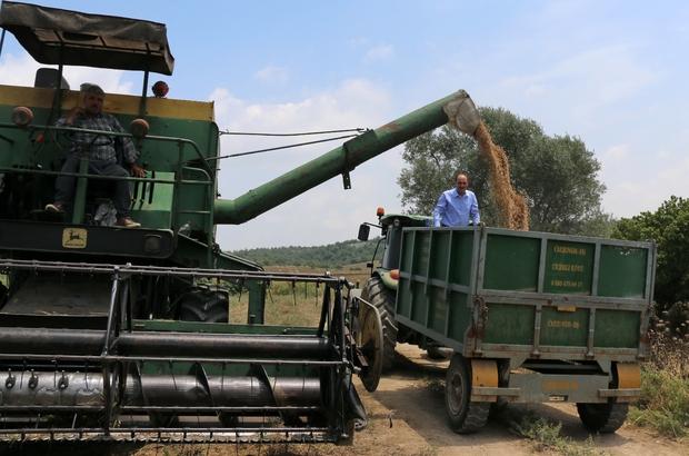 Adana'da nohut ekim alanları arttı Turfanda nohutta Adana'da 12 bin ton rekolte bekleniyor