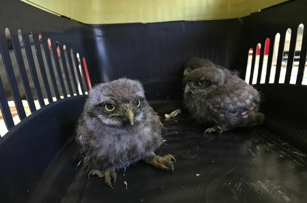 Yavru baykuşlar tedavi için İstanbul'a gönderildi