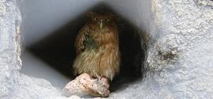 'Balık Baykuşu' Mersin'de koruma altına alındı Dünyada sayıları 50'den az olan ve nesli tükenme tehlikesi ile karşı karşıya bulunan 'Balık Baykuşu', Mersin Büyükşehir Belediyesi tarafından Tarsus Hayvan Parkı'nda koruma altına alındı