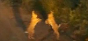 Tavşanların tatlı kavgası Tunceli'de bir kişi, iki tavşanın yol üstündeki kavgasını cep telefonuyla görüntüledi