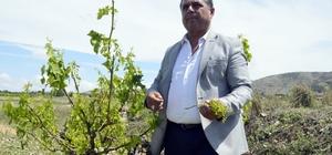 Denizli'nin Çal ilçesinde tarıma sel darbesi Çal'da etkili olan yağışların ardından tarım üretiminin bu yıl yarıya düşeceği öngörülüyor İlçede tarım arazilerinde medyana gelen zarar yaklaşık 35 milyon TL Türkiye'nin yüzde 35'lik şaraplık üzüm ihtiyacını karşılayan ilçede üzüm bağları büyük ölçüde zarar gördü