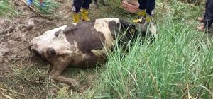 Adana'da çamura saplanan inek kurtarıldı