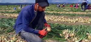 Kuru soğan fiyatındaki artış