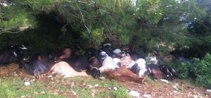 Manisa'daki yıldırım sonucu 105 keçi telef oldu